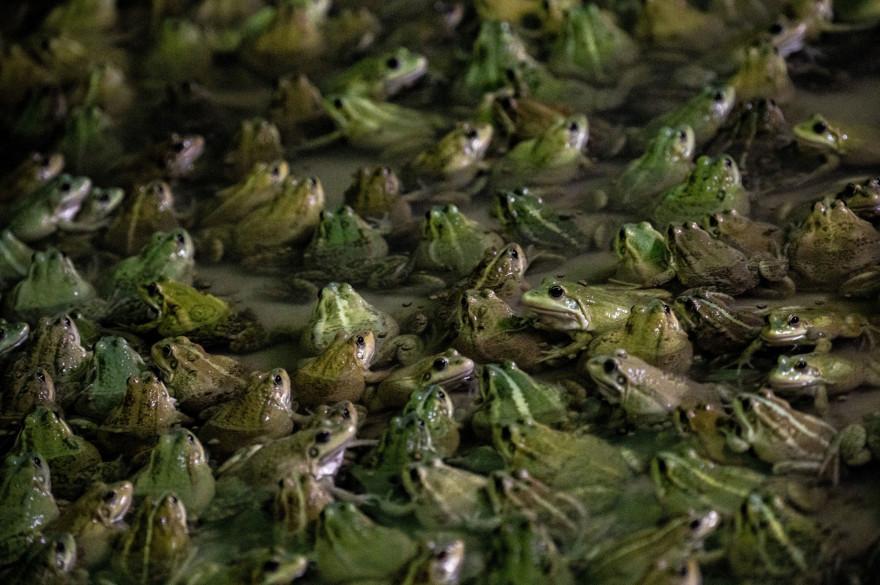 Des grenouilles dans une marre (illustration)