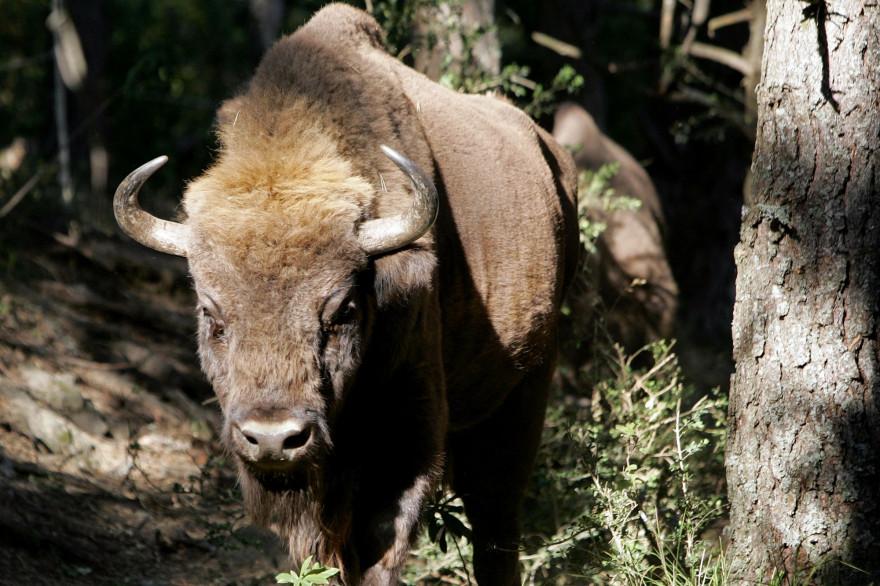 """Le bison d'Europe est l'une des rares espèces dont la conservation est efficace, il est passé d'espèce """"vulnérable"""" à """"quasi-menacée"""""""