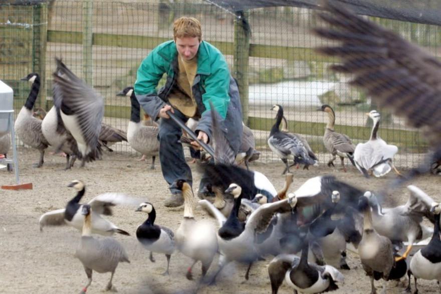 La grippe aviaire va-t-elle faire son retour en France ?
