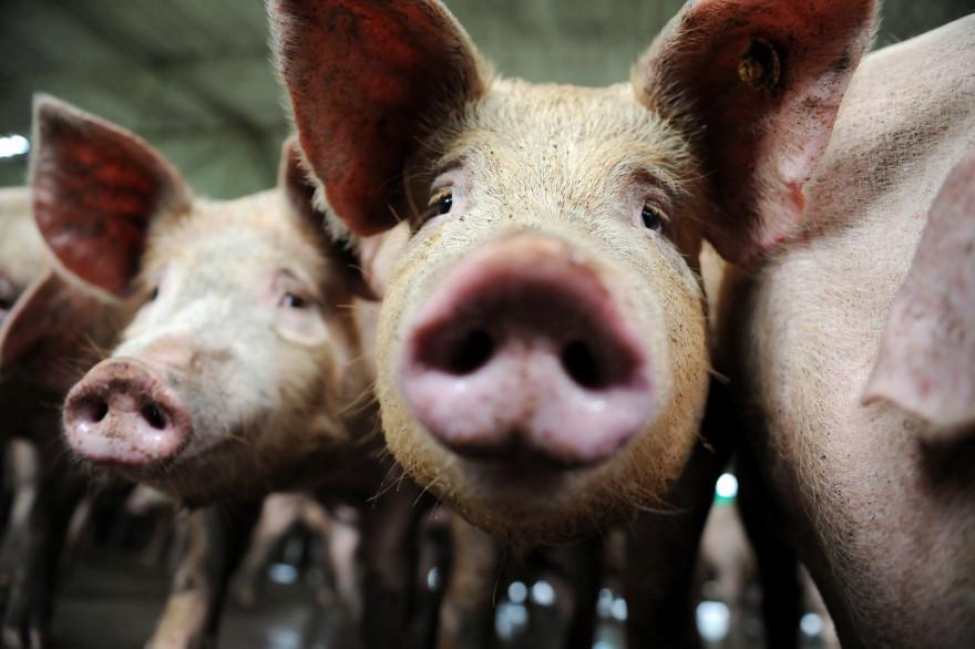 Des cochons dans une ferme (Illustration)