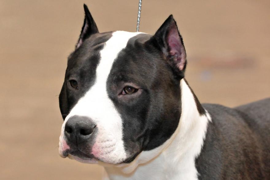 Un chien de la race des American Staffordshire Terrier