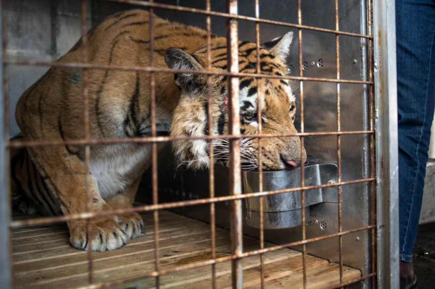 Un tigre dans un zoo (illustration).
