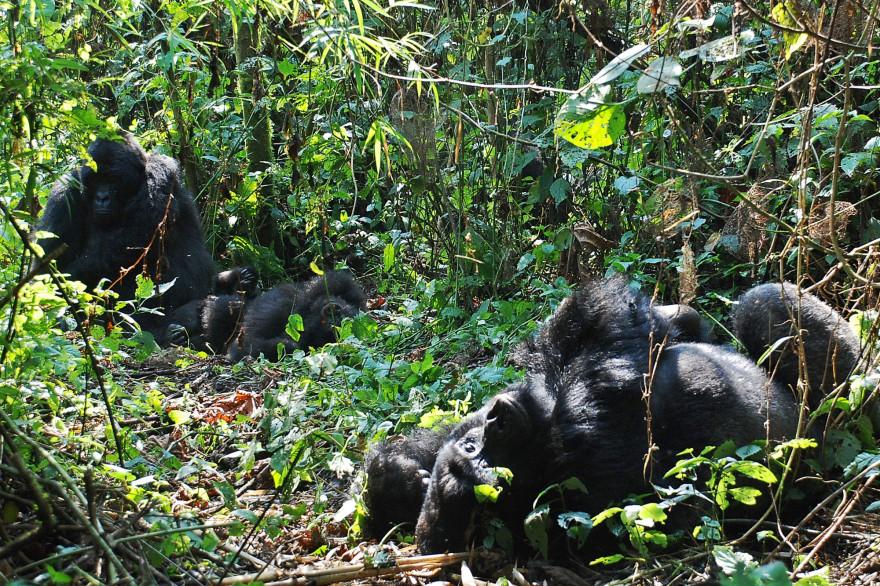 Des gorilles dans la forêt du parc national de Virunga en République démocratique du Congo. (Illustration.)