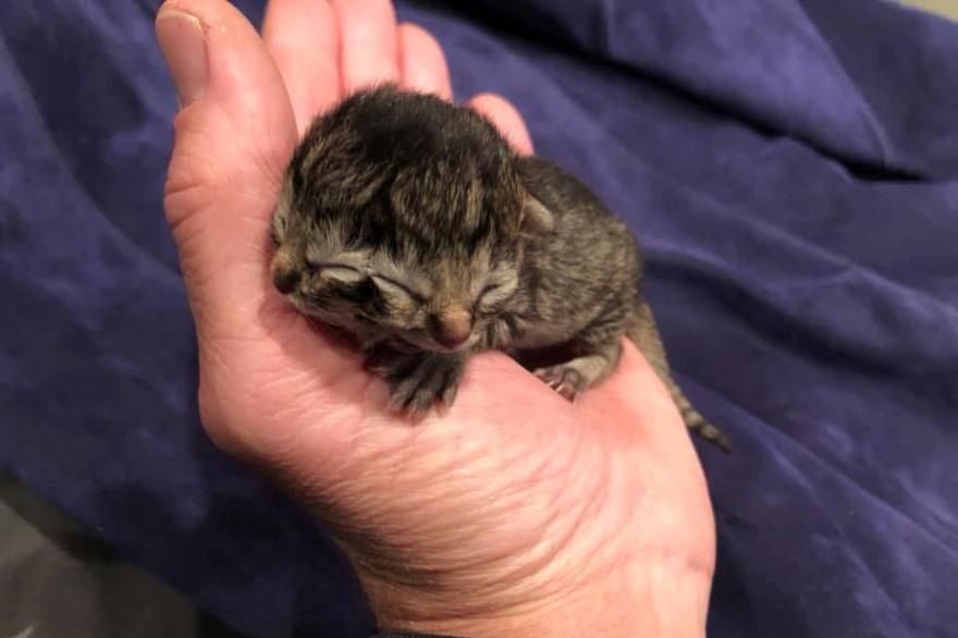 Biscuits et Gravy, un chaton à deux visages est né le 20 mai dans une ferme de l'Oregon aux États-Unis.