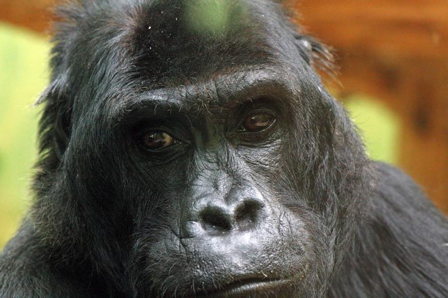 Un gorille à dos argenté (illustration)