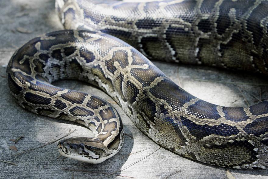 Un python géant (illustration)