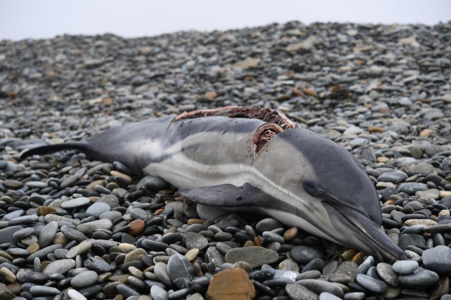 Un dauphin échoué sur une plage (illustration)