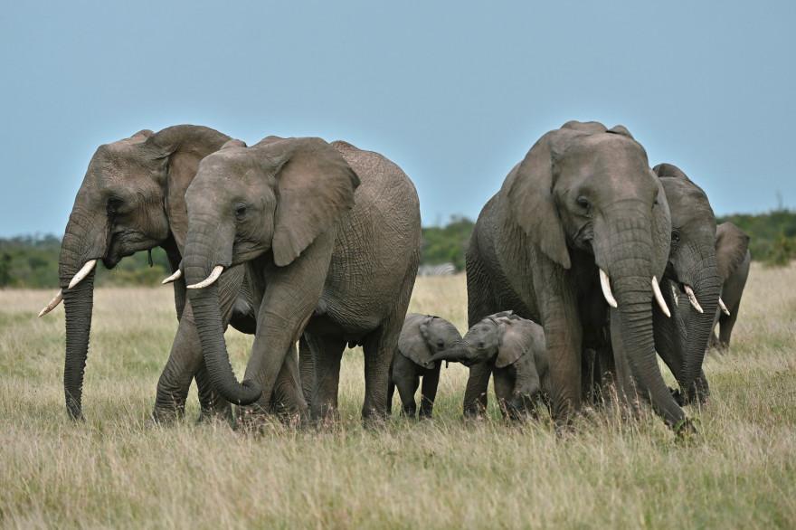 Des éléphants photographiés au Kenya le 24 juin 2020.