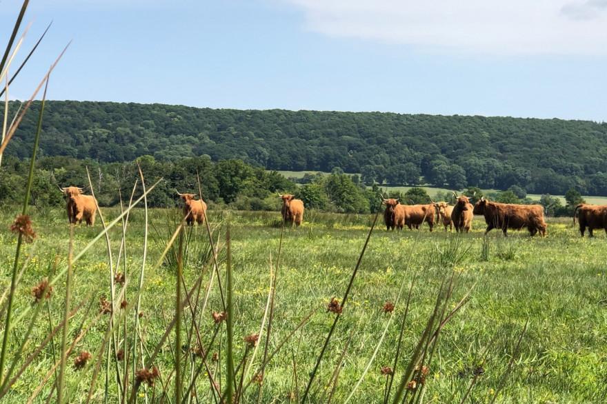 Un troupeau de vaches (illustration)