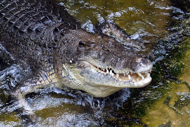 Les dealers faisaient garder leur argent par deux crocodiles.
