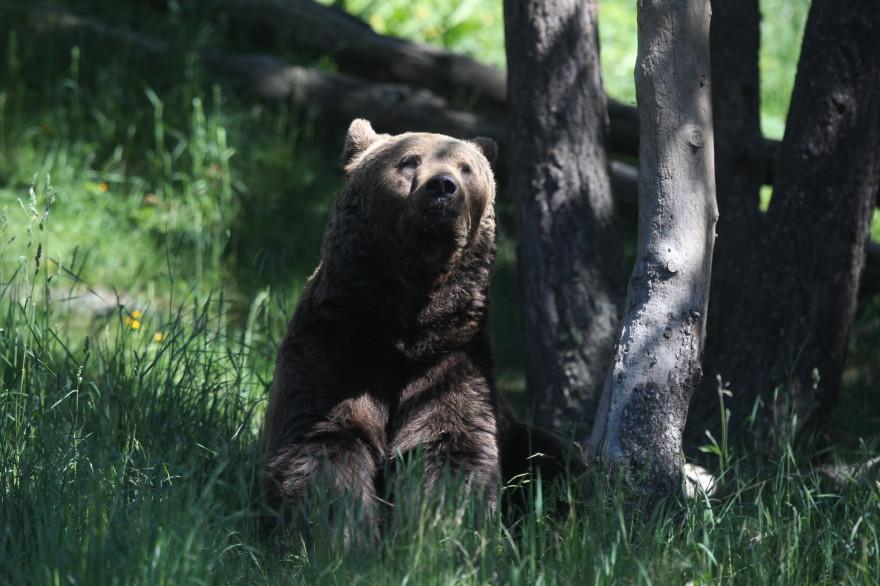Un ours brun dans les Pyrénées (illustration).