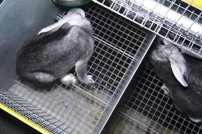 Les lapins vivent des cages exiguës.