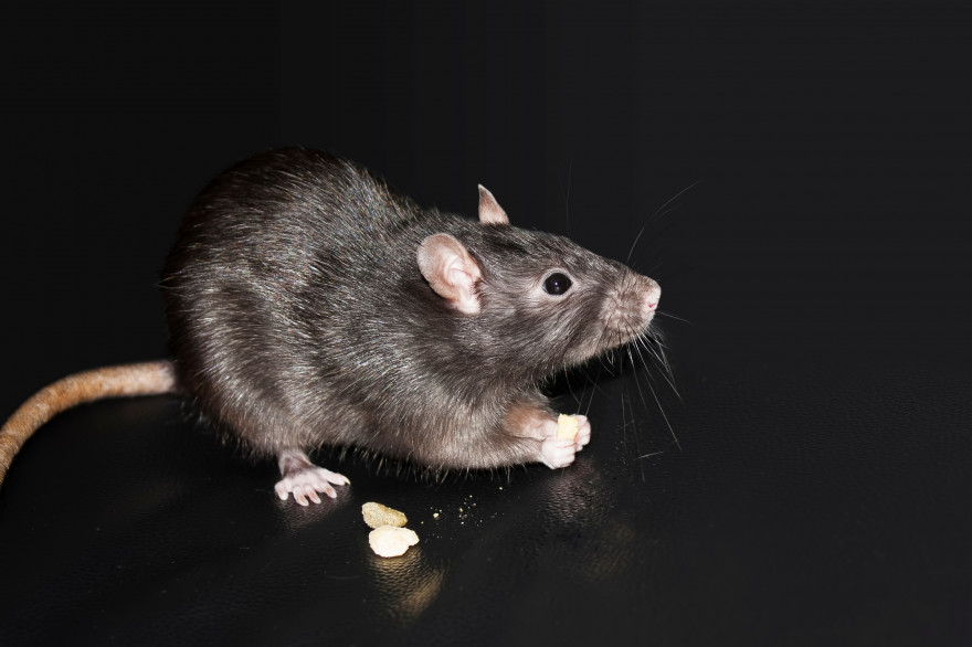 La leptospirose est excrétée dans l'urine du rat et s'attrape à causes de lésions cutanées ou par les muqueuses