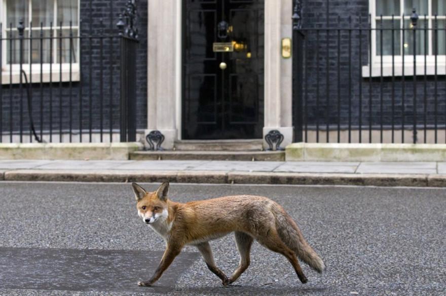 Un renard à Londres. (illustration)