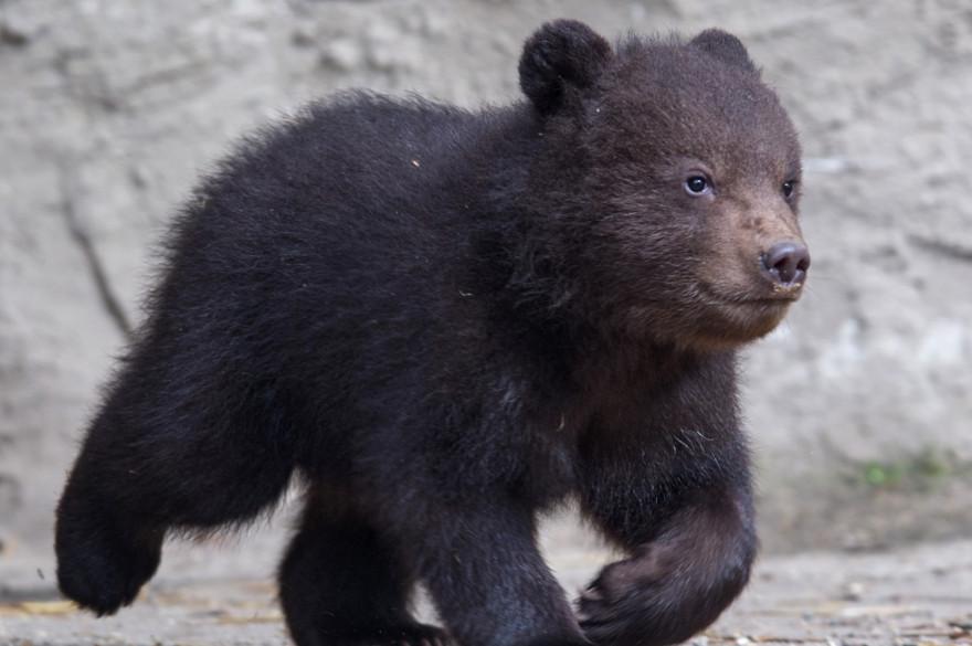 Un petit ourson, au zoo d'Hambourg (illustration)