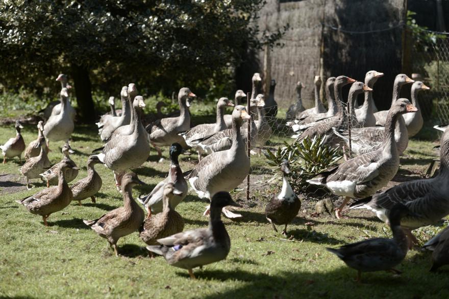 Grippe aviaire : y a-t-il un risque de transmission chez l'homme ?