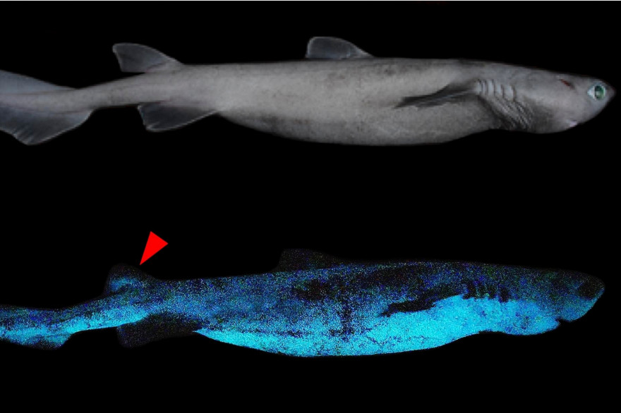 Des requins lumineux, découverts au large de la Nouvelle-Zélande.