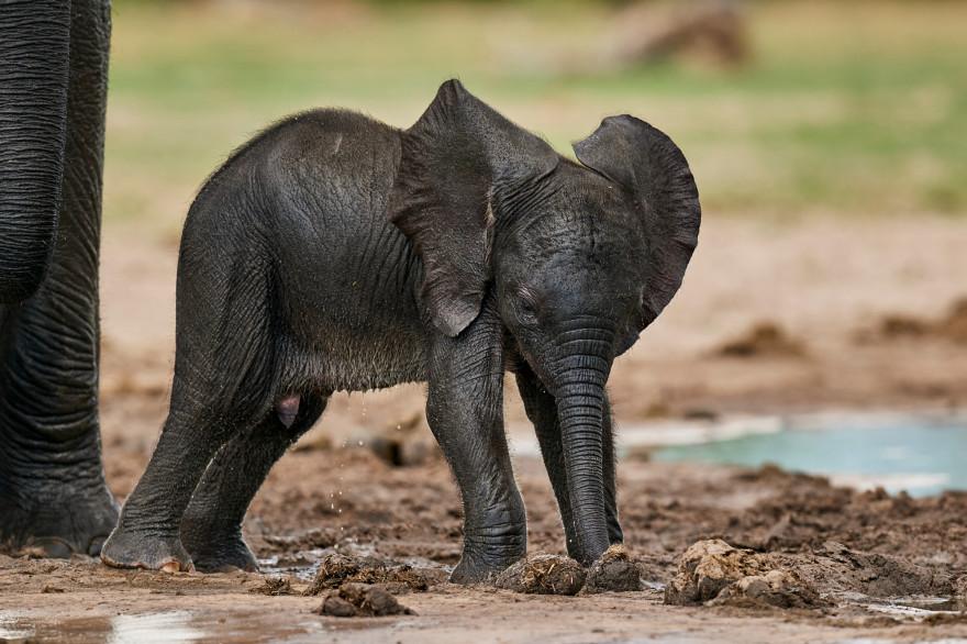 Un éléphanteau (illustration)